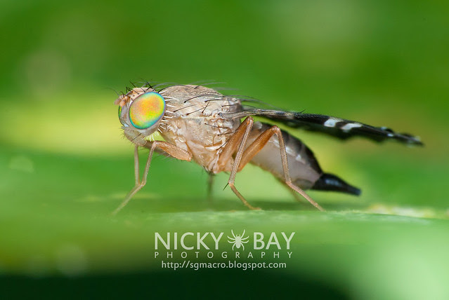 Fruit Fly (Tephritidae) - DSC_4369