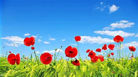 field  poppies hd desktop wallpaper widescreen high