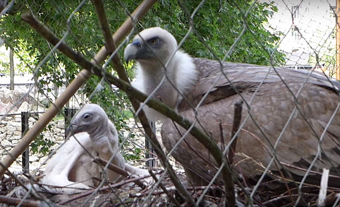 same-sex-gay-vulture-couple-hatch-abandoned-baby-egg-6