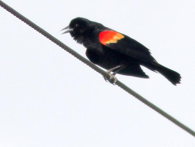 Red-winged Blackbird 20110427
