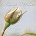 Texture Tuesday - White Rose
