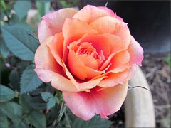 Another Parade rose