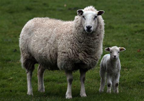 Future of EU sheep discussed