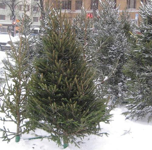 Joulukuuset Töölön torilla by Anna Amnell