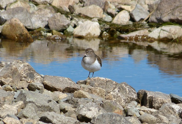 27144 - Common Sandpiper, Isle of Mull