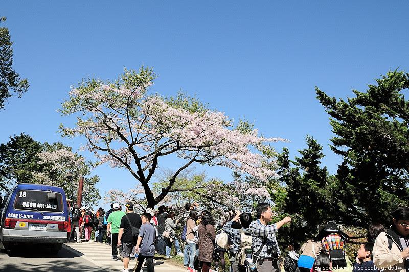 阿里山櫻花季38