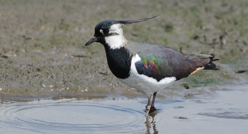 Lapwing. Wash and Brush Up