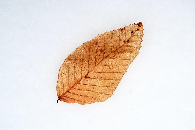 A leaf against snow.