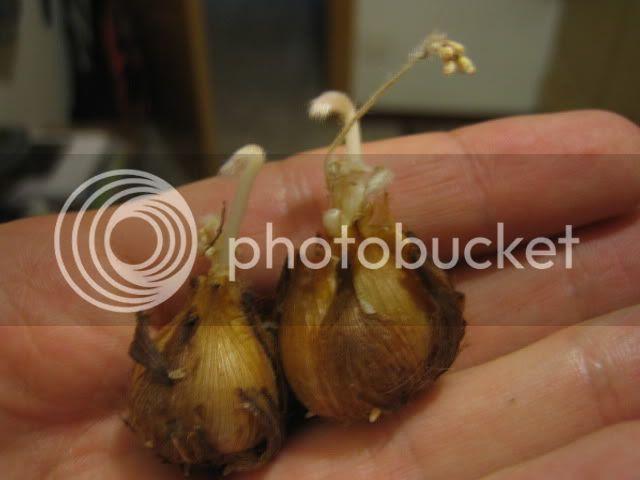 bulb trèvol de 4 fulles