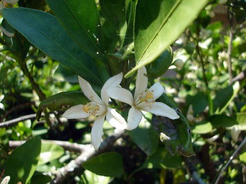 Satsuma Blossoms