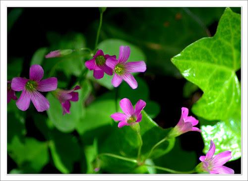 flor de un trébol