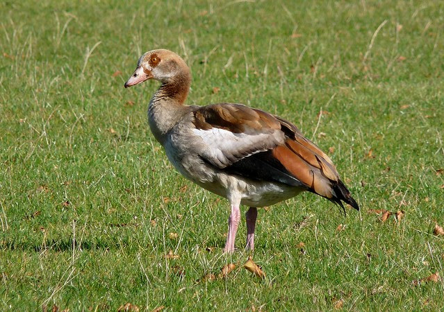 25212 - Egyptian Goose, Norfolk