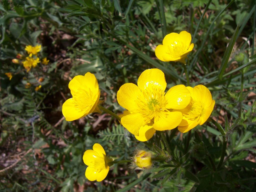 Fleurs : renoncule bulbeuse, bouton d'or