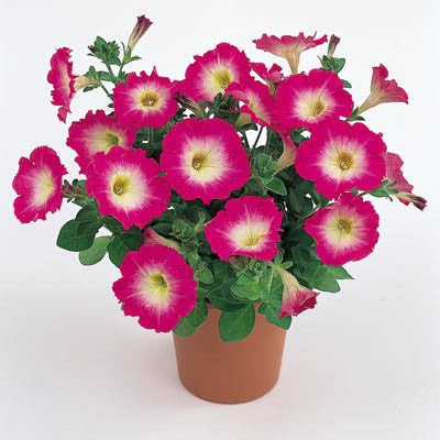 Petunia Merlin Rose Morn F1 Harris Seeds