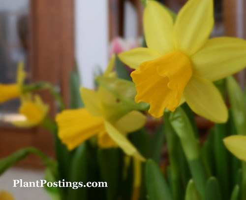 mini-daffs7
