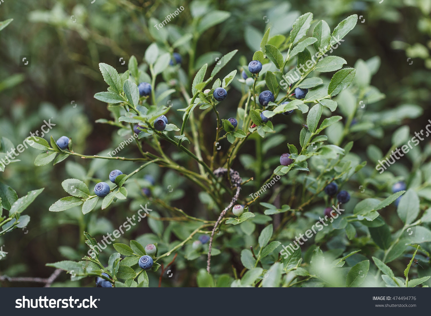 autumn, autumnal, backdrop, berry, bilberry, black, blaeberry, blue, blueberry, blurred, bush, closeup, eat, fade, focus, food, forest, fresh, freshness, fruit, green, growing, healthful, healthy, herbal, huckleberry, hurtleberry, juicy, leaf, macro, natural, nature, nutrition, organic, plant, raw, ripe, rustic, shallow, summer, sweet, uncultivated, vintage, wallpaper, whortleberry, wild