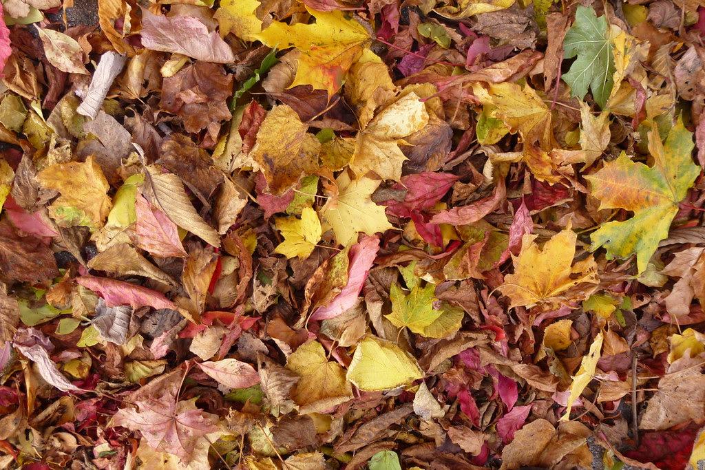 Autumn leaves P1030860