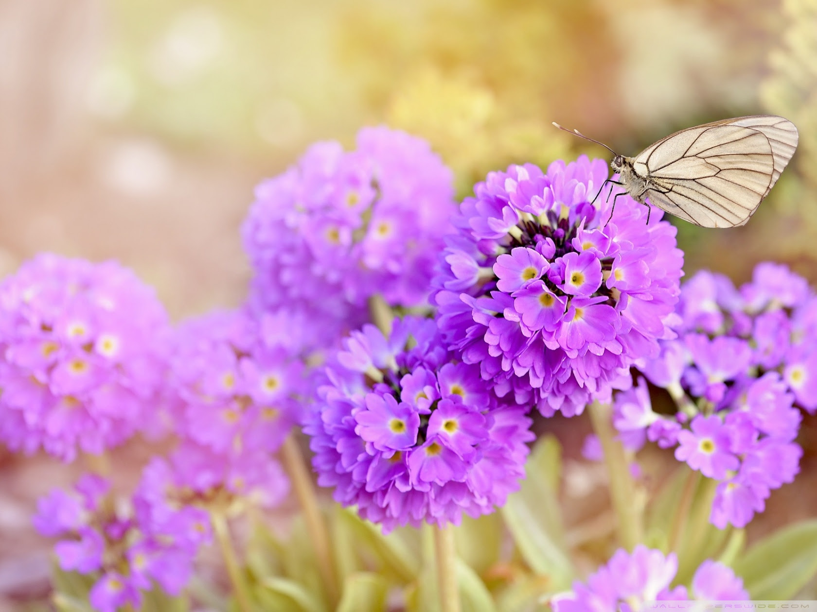 Spring Flowers And Butterflies Ultra Hd Desktop Background