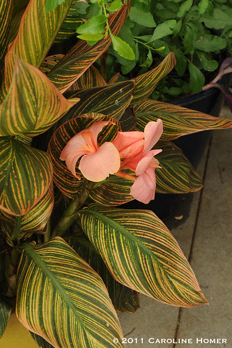 A varigated ginger in bloom