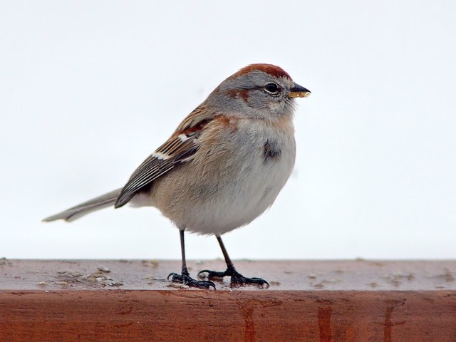 American Tree Sparrow 3-20130228