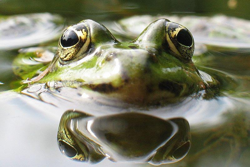 File:Wasserfrosch.jpg