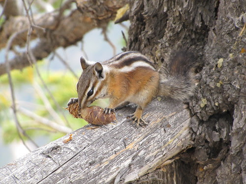 IMG_3640_Chipmunk_at_Bryce_Canyon