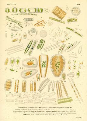Gallionella, Actinocyclus, Navicula, Cocconeis, Eunotia, Synedra