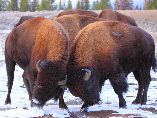IMG_9404 Bison Fighting, Grand Teton NP
