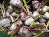 Aprende a preparar Insecticida natural de ajo y cebolla para plantas