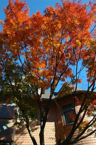 Japanese Maple, 1505 Albemarle Road, Prospect Park South