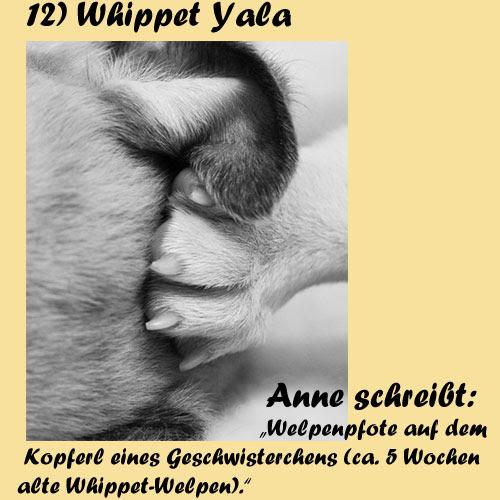 12-Whippet-Yala
