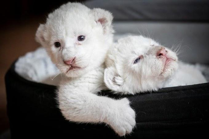 Simba y Nala, los raros leones blancos que han nacido lejos de la mano destructora del hombre