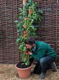 Exclusiva mundial TomTato ™ - patatas de cosecha y los tomates de la misma planta! Sólo a partir de Thompson & Morgan
