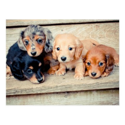 Dachshund Puppies Postcard