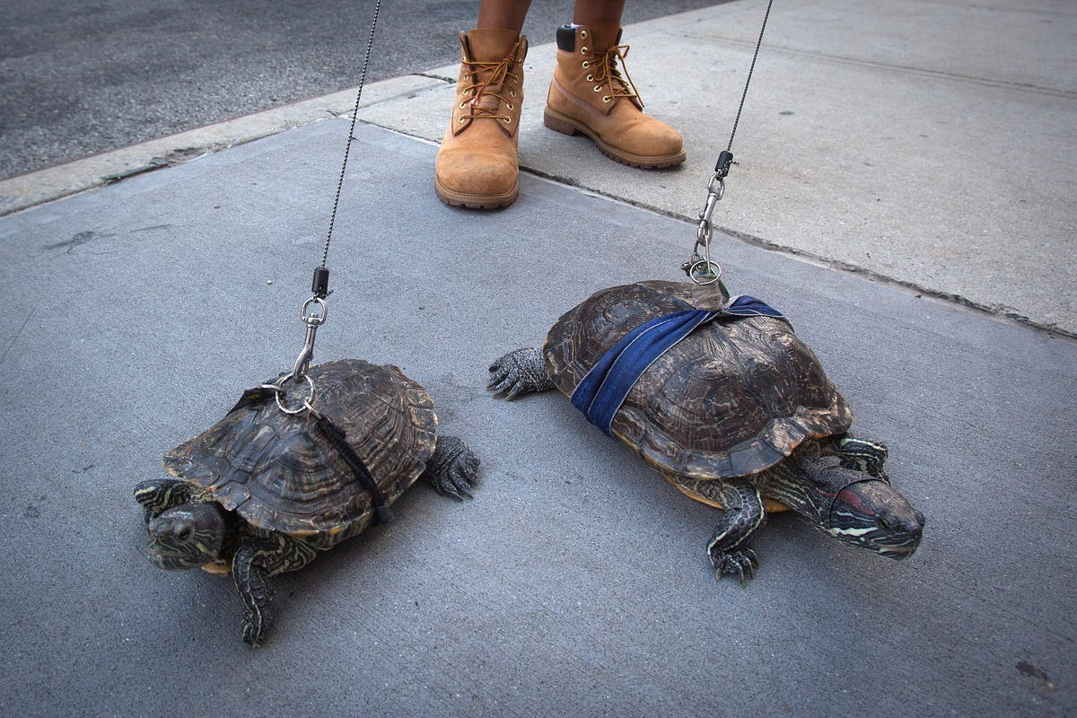 Resident Chris Roland walks his pet turtles Cindy and Kuka in New York City on Aug. 4. Roland has had the turtles for years and says he walks them daily.