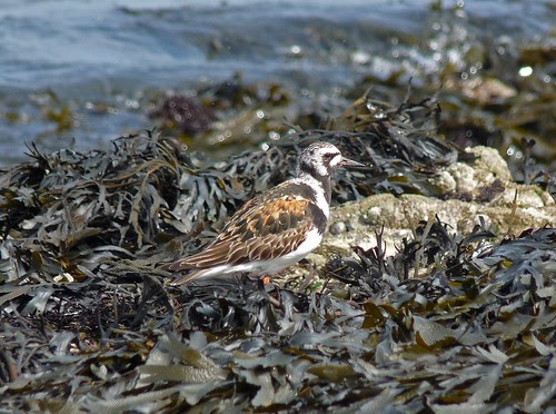 22243 - Turnstone, Mumbles Head