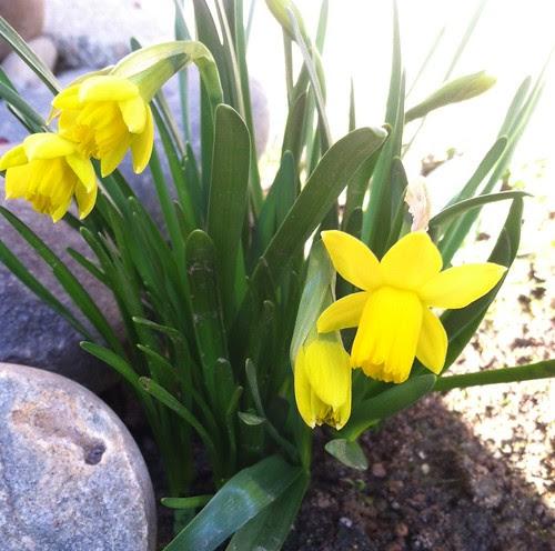Daffodills Tete-a-tete Feb 2013