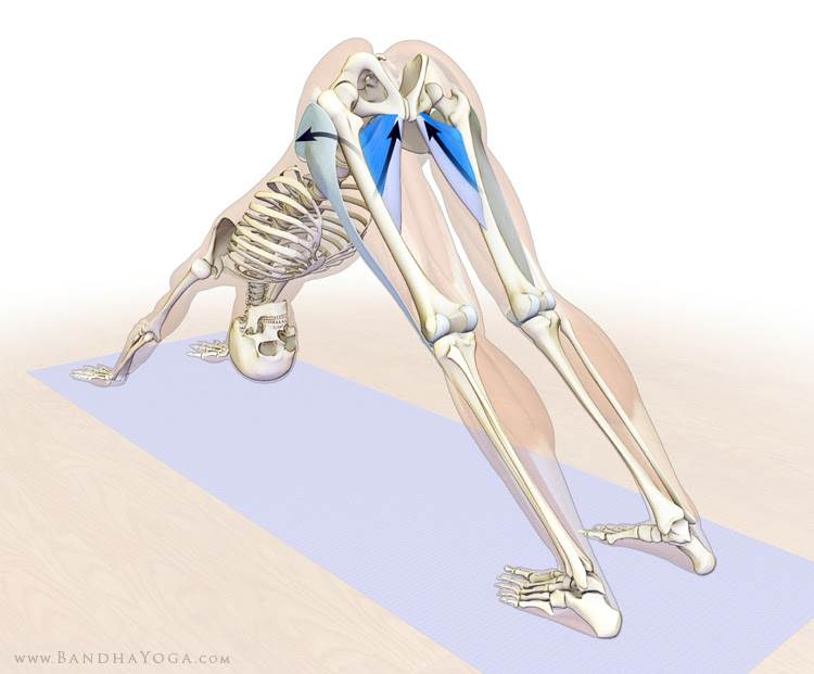 synergists of flexion in downward doge pose