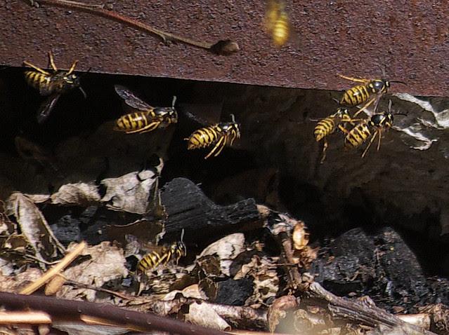 DSC_8220 wasp nest