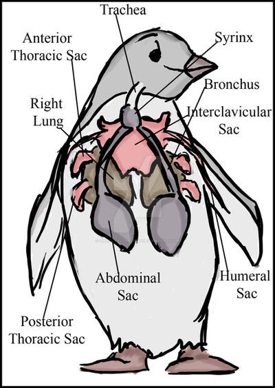 penguin_anatomy_by_smallvillereject dulr1r