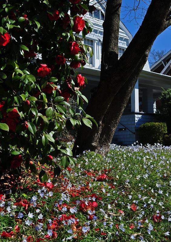 Ipheion Under Camellia (2)