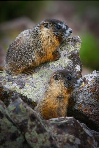 Yellow-bellied marmot-1.JPG