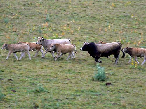 course de vaches.jpg