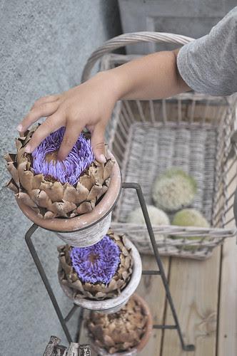 blommande kronärtsskockor