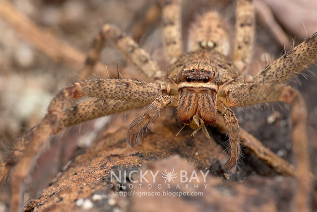 Huntsman Spider (Sparassidae) - DSC_6745