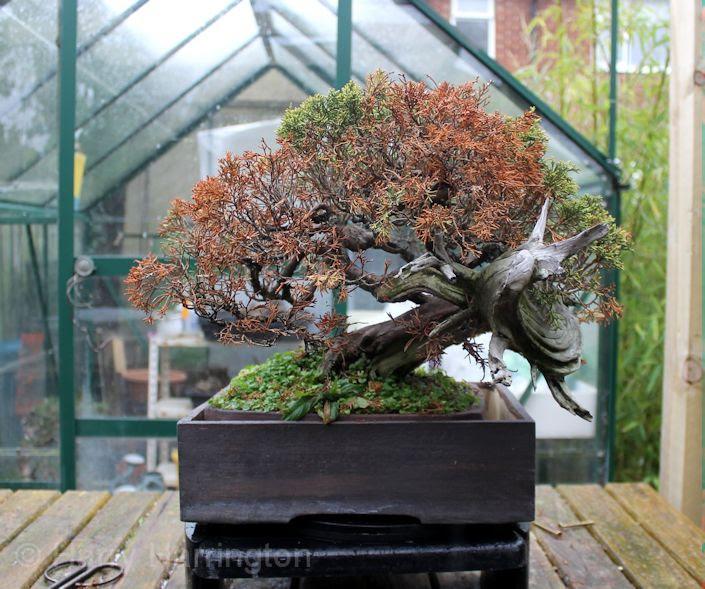How To Revive A Dead Bonsai Tree Bonsai Tree