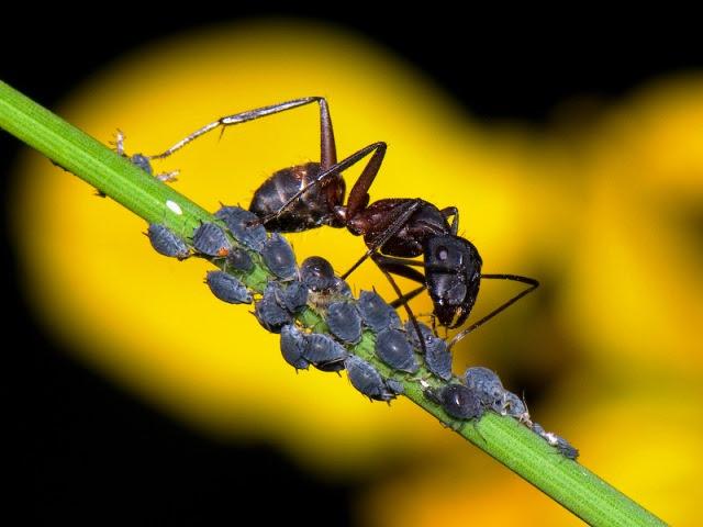 hormiga-pastora