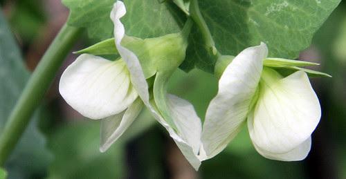 pea blossoms