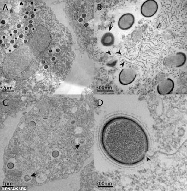 Los virus gigantes, con un diámetro superior a las 0,5 micras (0,5 milésimas de milímetro), son fácilmente visibles con un simple microscopio óptico. Pueden ser confundidos con facilidad con bacterias.