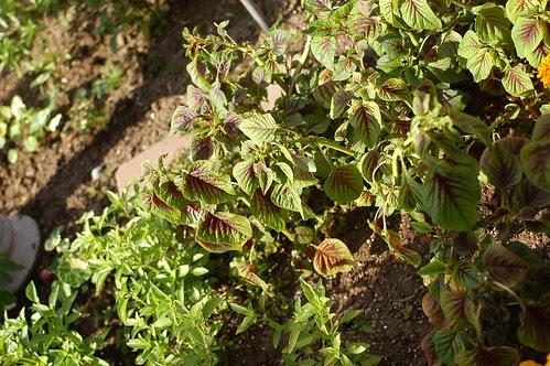 amaranth leaves
